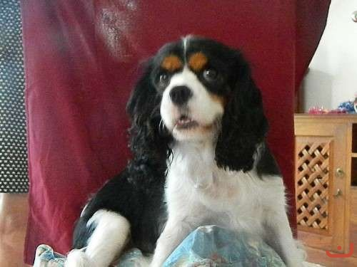 Gorgeous King Charles Cavalier pure bred Puppies
