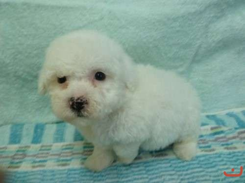 Bichon Frise Pure Breed