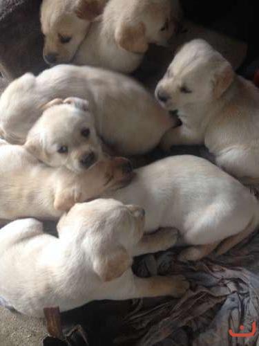 Golden labrador pups born 12 April 2016
