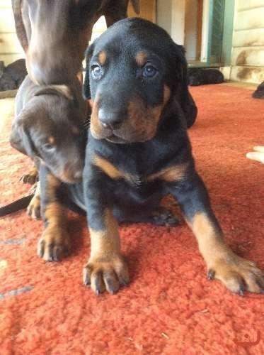 World Class Doberman Pups