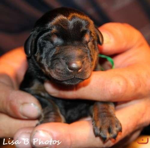 Purebred, full European bloodline Dobermann Puppies