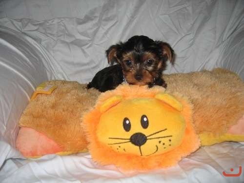 Pure Yorkshire Terrier Puppy for Sale - 1 Male Only