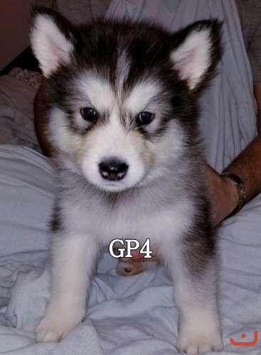 Alaskan Malamute Puppies. Pure Breed