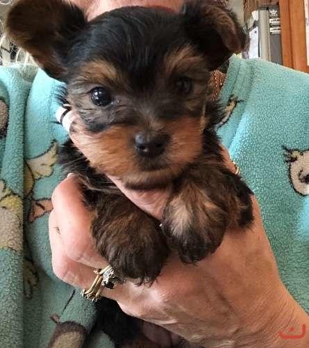 tiny yorkie purebred pup