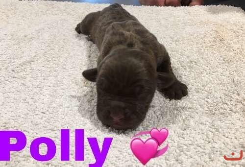 Beautiful purebred Neopolitan Mastiff babies , 4 Girls 2 Boy