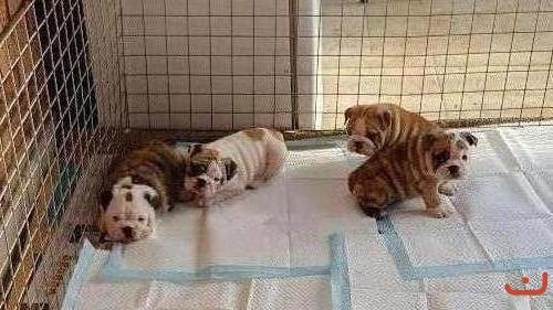 Purebred British Bulldog Puppies