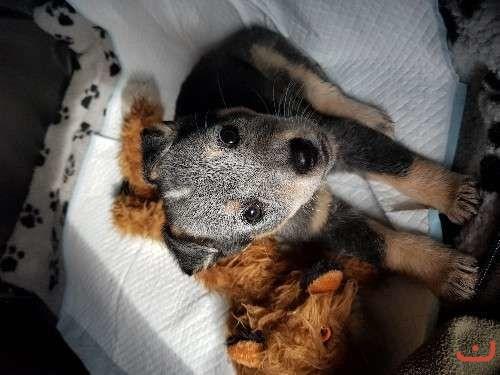 Purebred blue heeler puppy