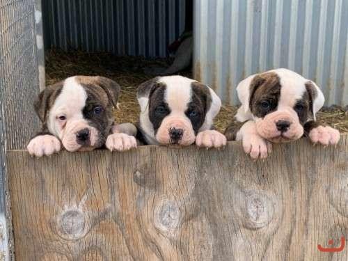 American Johnson bulldog pups
