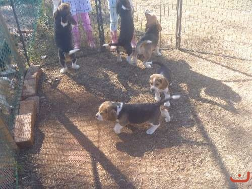 BEAGLE PUPS, PURE BRED, READY TO GO NOW, MALES & FEMALES.