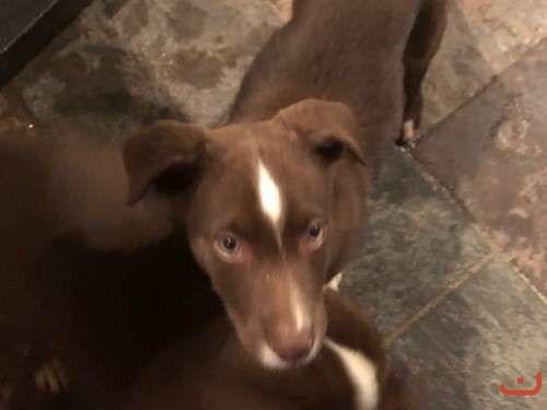8 week old Koolie Pups
