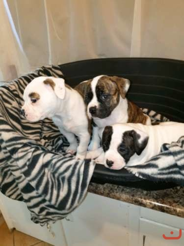 American Bulldog Quality Johnson pups - Black/genetic tested