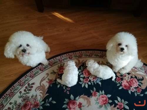 Purebred Bichon Frise Puppies