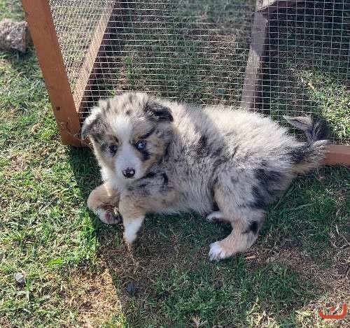 Australian Shepherd - Mini and Toy puppies