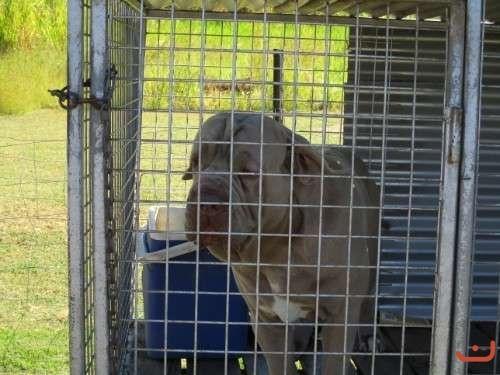 Neo mastiffs pups for sale