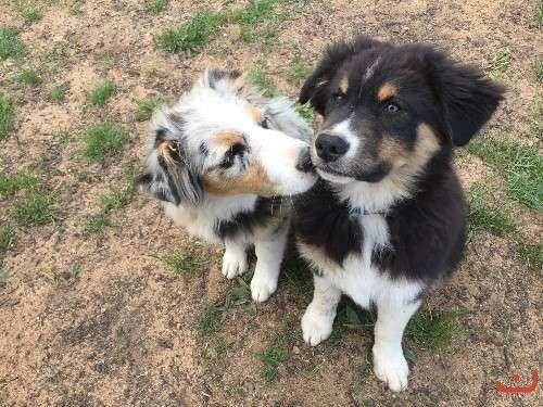 Super cute Australian Shepherd pups for sale