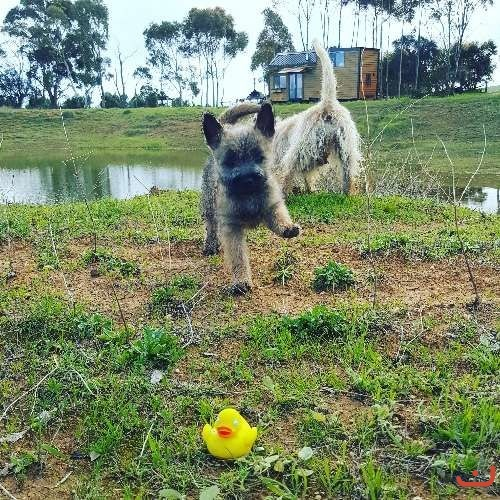 Purebred Cairn Terrier puppies