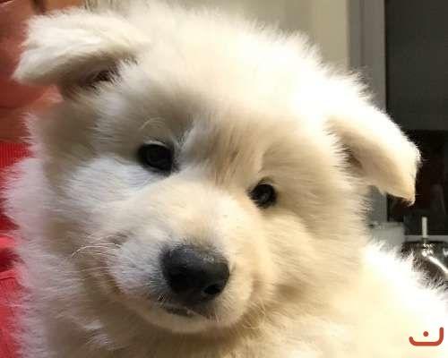 3 Male White Swiss Shepherd Puppies For Sale