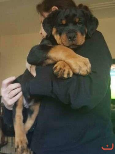 Purebred bobtail Rottweiler puppies