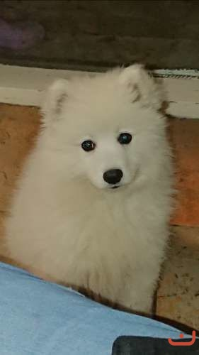 Pure breed Japanese Spitz 3 months Girl