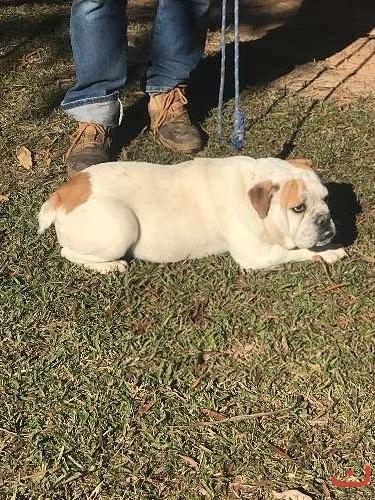 Aussie Bulldog Pups
