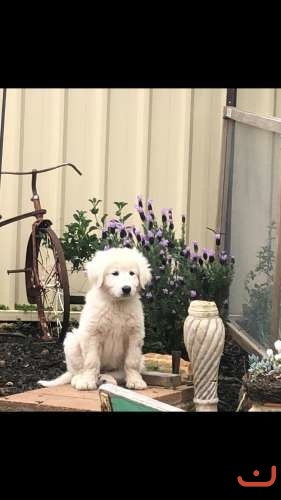 Maremma Purebred puppies available to good home