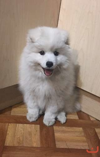 Japanese Spitz puppy for Sale
