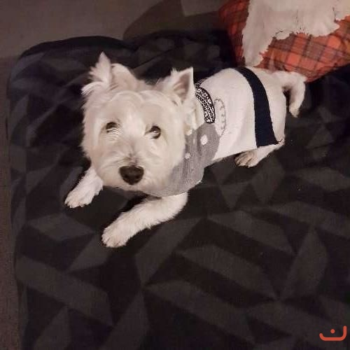 Female West highland Terrier Pup