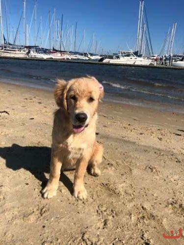 Golden Retriever Puppy - 6 months old only