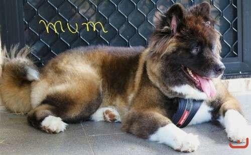 Pure breed Female American Akita Puppy