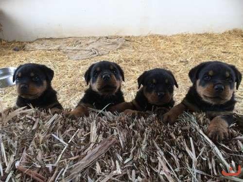 Purebred Pups