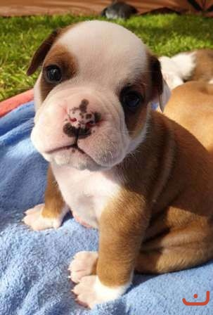 Aussie Bulldog Puppies - Australasian Bosdogs