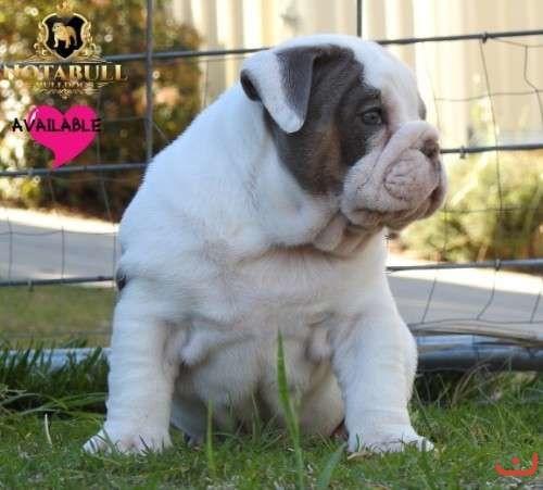 Australian Bulldog Puppies For Sale