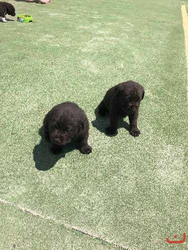 Chocolate Labrador Pups Purebred