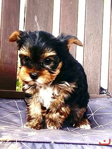 Pure Yorkshire terrier pups