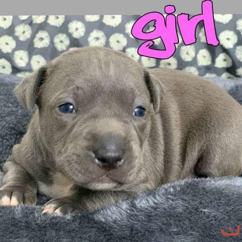 American Staffordshire Terrier Purebred