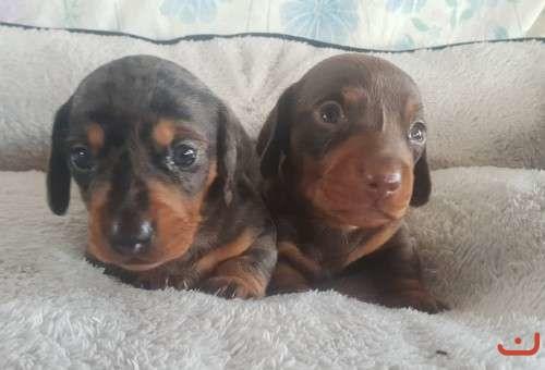 Purebred miniature dachshunds
