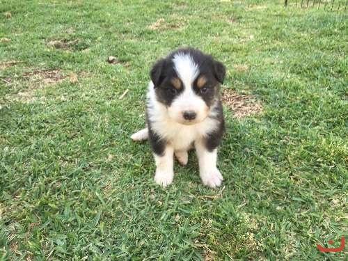 Pure Australian shepherd puppies