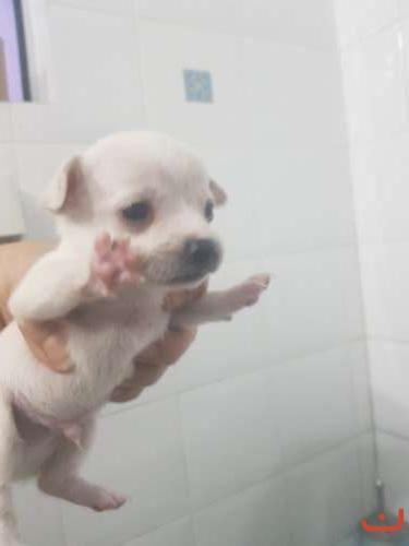 Chihauhua  pups
