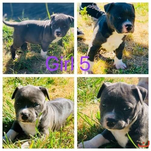Beautiful Purebred American Staffy' Pups