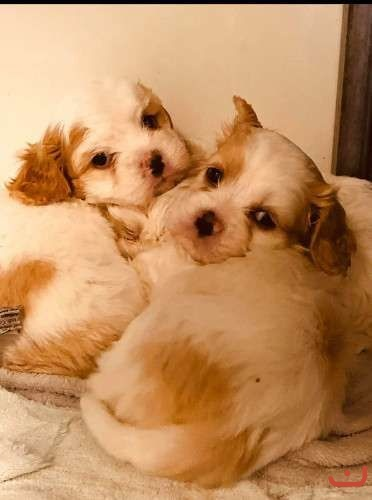 Cavoodle boys for sale