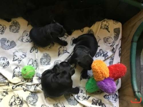 Four Female Dark Brindle Purebred French Bulldog Pups