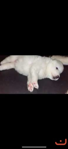 Purebred Samoyed puppy's coming soon