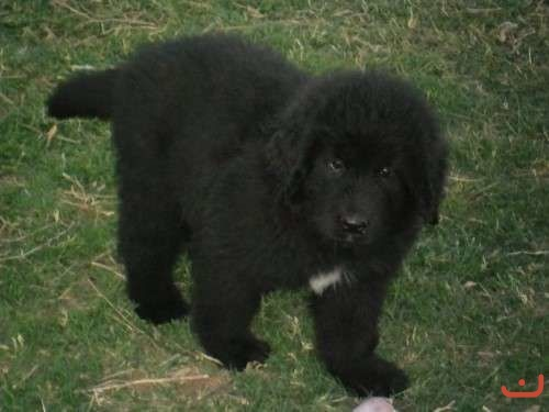 NEWFOUNDLAND PUPS   --- TWO BLACK FEMALES AVAILABLE