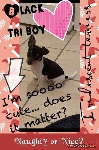 2black tri Tenterfield Terriers