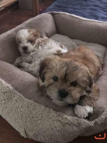 Lhasa Apso Puppies Purebred