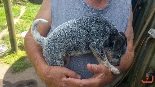 Heeler Puppies - Red and Blue