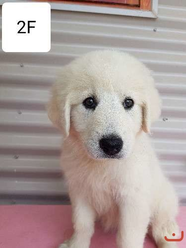 Maremma puppies for sale