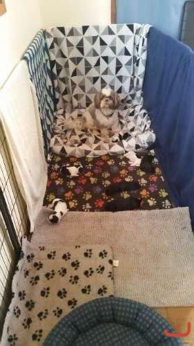 Pure Bred Shih-Tzu puppies