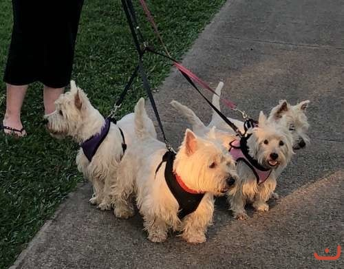 West highland terrier ready mid March
