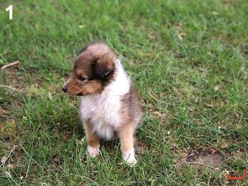 Sheltie purebred pups